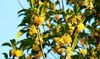 桂花树种子种植技术及注意事项