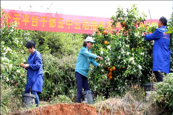 赣青扶贫行动——爱心助农于都东光村夏橙采摘现场