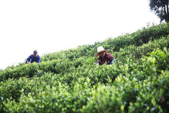 一场茶事一场春资溪一亩茶园