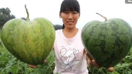 河北村农种出心形情侣西瓜 一个卖上百元