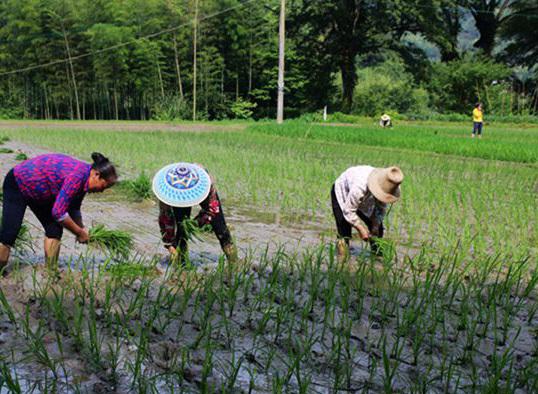 遂川:夏至到 农事忙抢插一季晚稻