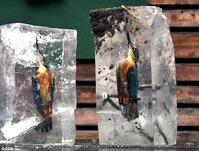 翠鸟入水抓鱼  冰天雪地遭冰封
