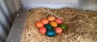 母鸡中的战斗鸡,这母鸡下了彩色的蛋!