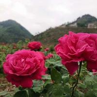 法国墨红玫瑰,泡出来茶色真的诱人!