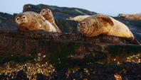 太平洋斑海豹洄游烟台长岛